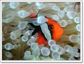 Redang Pelangi Clown Fish